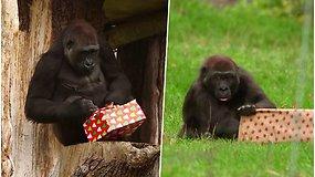 Žaismingi kadrai iš zoologijos sodo – beždžionės jau išsipakavo savo šventines dovanas