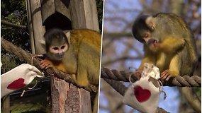 Meilės dienos laukia ir beždžionės – dėl širdelėmis puoštų skanėstų net susipešė