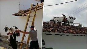 Iškvietimu stebėjosi net ugniagesiai – teko gelbėti ant stogo užsilipusias ožkas