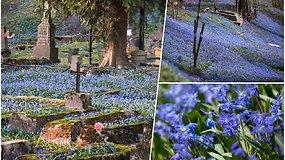 Kvapą gniaužiantis pavasario grožis: Bernardinų kapines nuklojo mėlynų žiedų kilimas
