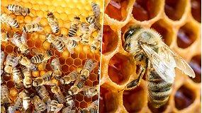 Pasigrožėkite: įsismarkavus vasariškiems karščiams, aviliuose pats darbymetis – dūzgia bitės