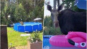 Išsiaiškino, kur dingsta baseino vanduo – užtiko geriančią ir besimaudančią briedę su jaunikliu
