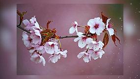 Ar žinote, kodėl medžiai pavasarį pražysta beveik neturėdami lapų?