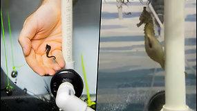 Užfiksuota, kaip gimsta reti jūros arkliukai – vaizdai tapo interneto sensacija