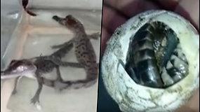Po dirbtinio apvaisinimo išsirito nykstančios rūšies krokodiliukai – sveria vos 45 g