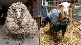 Pabėgusi avis rasta taip apaugusi vilna, kad vos galėjo pajudėti – neprižiūrėti kailiniai svėrė 35 kg