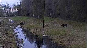 Vaizdo kameros užfiksavo įspūdingą vaizdą: meška iš Baltarusijos užklydo į Lietuvą