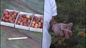 Uogų dydžio obuoliai – sutelpa į degtukų dėžutę