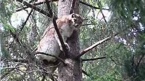 Žvėrinčius –  gyvūnų respublika Telšių miškų urėdijoje