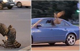 Neįprastas vaizdas Klaipėdos centre – plėšriojo paukščio medžioklė