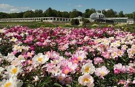 Pasigrožėkite: VDU Botanikos sode – išskirtinės ir retos bijūnų veislės