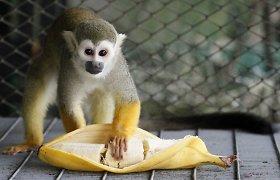 """DNR įdomybės: tolimas žmogaus """"giminaitis""""... bananas"""