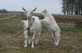Valstybei priklausančiose gyvulių veislininkystės bendrovėse – netvarka: vadovų kompetencija kelia abejonių