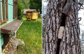 Bitininkystės muziejaus šventėje – tamsiosios bičių šeimos įkėlimas į drevę