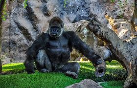 Kodėl gorilos mušasi į krūtinę? Mokslininkai tvirtina, kad viskas kur kas gudriau nei, kad manote