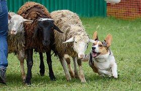 Policija tiria avių galvas, paliktas kauniečiams namo kieme: tai žiaurus elgesys su gyvūnais, bet ne žmonėmis?