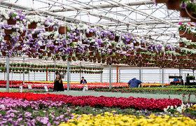Problemos gėlių rojuje Žiežmariuose – darbuotoja algos negavo nuo vasaros, vadovė pandemiją prilygina košmarui