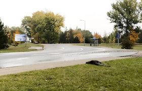 Vilniuje iš filmavimo pasprukusi kengūra žuvo po automobilio ratais: filmo kūrėjai apgailestauja