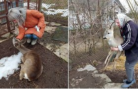 """Gyvūnų gerovės sergėtojai: """"Šie metai – stirnų metai"""""""