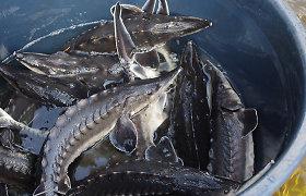 45 tūkstančiai aštriašnipių eršketų įkurdinti į Baltijos jūrą įtekančiose upėse