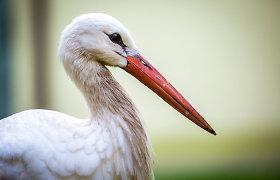 S.Paltanavičius: pavojų užsikrėsti paukščių gripu kelia ne baltieji gandrai