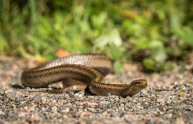 """""""Nuaro"""" vadovė J.Gustaitienė: taip, yra buvę atvejų, kai naktį nuėjęs į tualetą žmogus pamato gyvatę"""