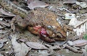 Atrastos gyvatės, kurios sulenda į savo aukų vidų ir po vieną suryja organus