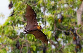 """Gyvūnų pasaulyje: šikšnosparniai jums """"padovanos"""" Ebolą karštinę, o antys – gripą"""