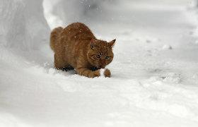 Raseiniškio žiaurumas: surišo katino kojas ir metė myriop į pusnį