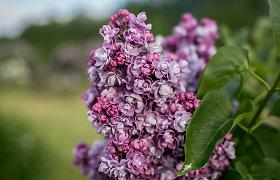 """""""100 augalų"""" savaitės apžvalga: ką auginsite – alyvas, o gal romantiškuosius katilėlius?"""