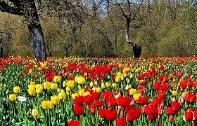 Pavasarinis grožis: Burbiškio dvare žydi tulpių jūra