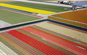 Nyderlanduose grožiu svaigina 7 mln. tulpių, bet žmonės jų nemato