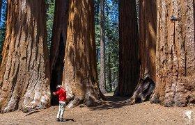 Vienas įspūdingiausių pasaulio parkų: nelyginkite šių sekvojų su Stelmuže