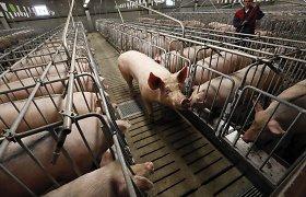 Kinijoje atrasta naują pandemiją galinti sukelti kiaulių gripo atmaina