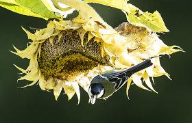 Selemonas Paltanavičius: Saulėgrąžų derlių įvertina paukščiai