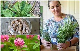 Valgomi laukiniai augalai: nuo trauklapių traškučių iki dobilų blynų tešloje