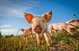 JAV leista genetiškai modifikuotas kiaules auginti maistui ir medicinos produktų gamybai