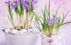 """""""100 augalų"""" savaitės apžvalga: pavasario šaukliai – krokai"""