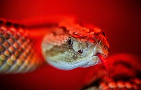 Kaip gyvatės barškuolės garsu apgauna žmogaus smegenis?
