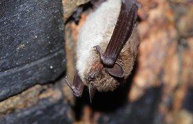 Slaptieji žmonių pagalbininkai – šikšnosparniai