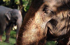 Indonezijos palmių plantacijoje rasta nunuodyta nėščia dramblio patelė