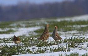 Lietuvos ornitologai ragina nutraukti kurapkų medžioklę