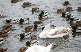 Nevėžis užšalo: laukiniams paukščiams jau reikalinga žmonių pagalba