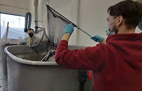 Klaipėdos universiteto laboratorijoje užaugintos krevetės