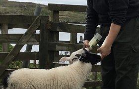 Menininkės Dovilės gyvenimas Škotijoje – tarp karklų ir avių