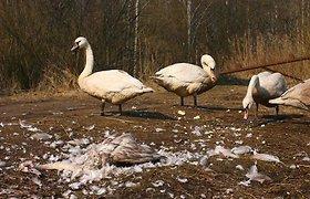 Gyvūnų globėjus supriešino nugaišusios gulbės