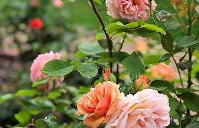 Karolinos pamėgtos įspūdingos rožės ir kiti augalai