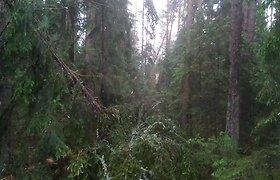 Audros nusiaubta Labanoro giria