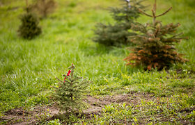 Ne itin džiuginantis Kalėdų miškas Vilniuje