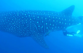 Įspūdingas tyrimas: mokslininkai pirmą kartą po vandeniu atliko ultragarso tyrimą bangininio ryklio patelei